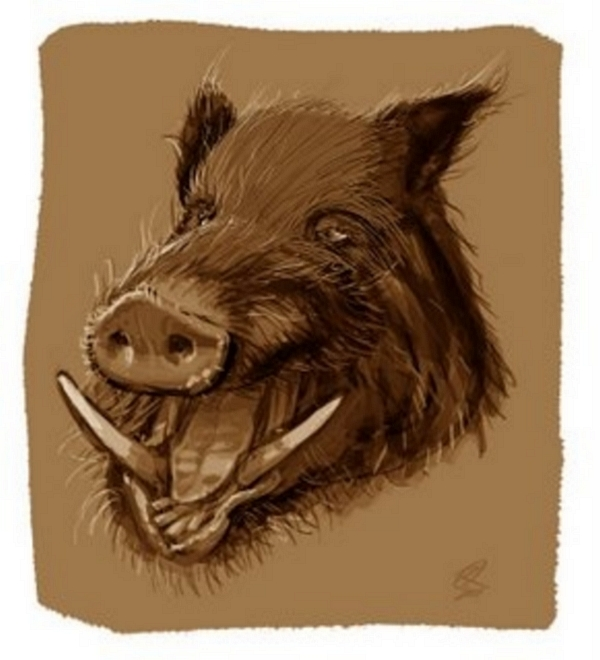 sanglier - Boar Head