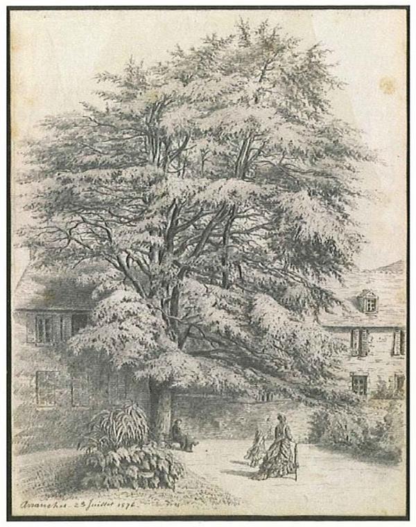 Les arbres - Avranches cèdre du Liban